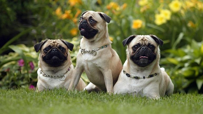 Собаки породы мопс: фото, характер, описание породы. Чем кормить мопса. Каким болезням подвержена порода. Щенки мопса