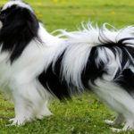 Собаки породы Японский хин: фото, характер, описание породы. Каким болезням подвержена порода. Чем кормить японского хина