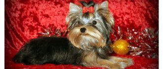 Собаки породы йоркширский терьер: фото, характер, описание породы. Каким болезням подвержена порода. Фото щенков йоркширского терьера.