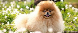 Собаки породы померанский шпиц: фото, характер, описание породы. Болезни померанского шпица. Чем кормить собаку