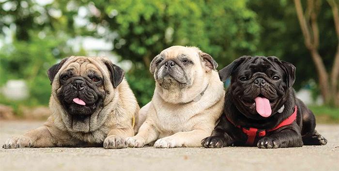 Собаки породы мопс. Фото мопса. Щенки мопса