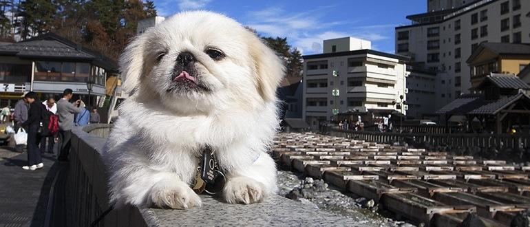 Пекинес: фото, описание, характер, уход, болезни породы