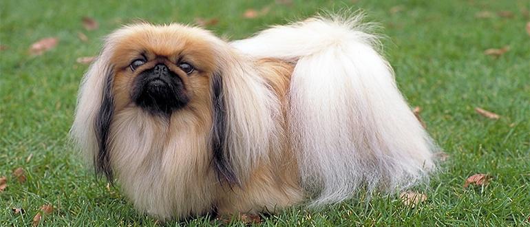 Собаки породы Пекинес: фото, характер, описание породы. Чем кормить пекинеса. Каким болезням подвержены пекинесы