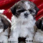 Собаки породы Ши тцу: фото, описание породы, болезни породы