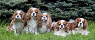 Собаки породы кавалер кинг чарльз спаниель: фото, характер, история, описание породы. Чем кормить кавалер кинг чарльз спаниеля.