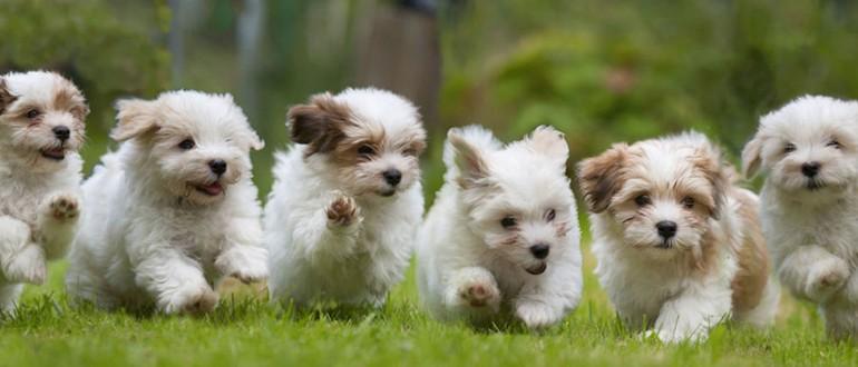 Собаки породы итальянская болонка (болоньез или болонский бишон): фото, характер, описание породы. Чем кормить итальянскую болонку