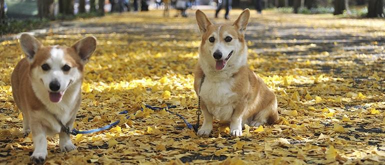 Собаки породы вельш корги: фото, описание, характер породы. Чем кормить собаку. Каким болезням подвержены вельш корги