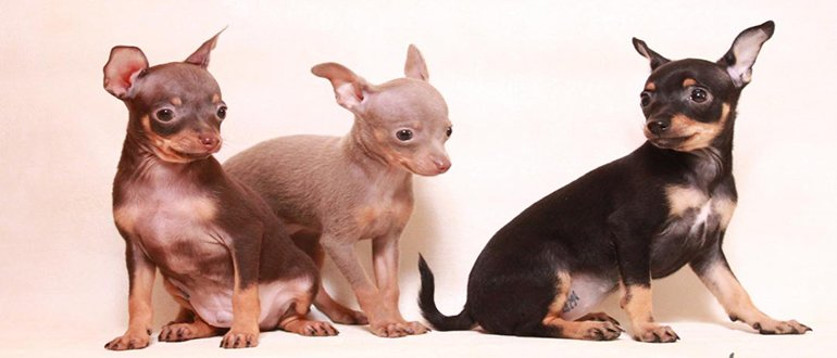 Собаки породы той-терьер:фото, характер породы, происхождение. Каким болезням подвержена порода. Чем кормить той терьера.