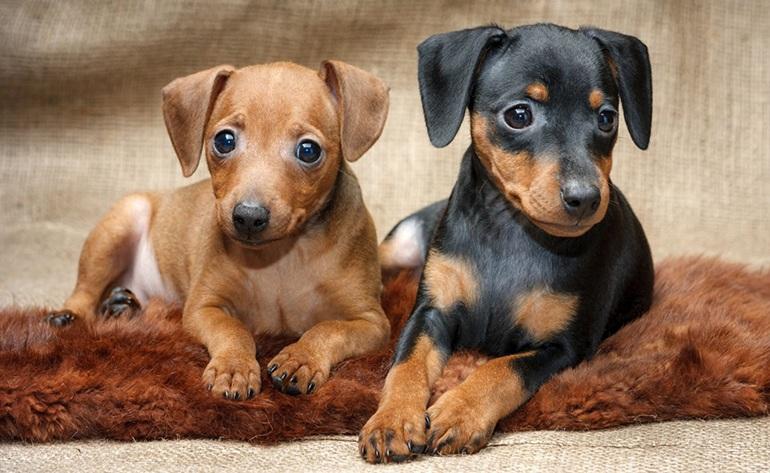 Собаки породы карликовый пинчер (цвергпинчер): фото, характеристика породы