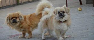 Собаки породы тибетский спаниель: фото, описание, характер, история породы. Болезни тибетского спаниеля. Чем кормить собаку