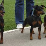 Собаки породы карликовый пинчер (цвергпинчер): фото, описание характеристика породы. Каким болезням подвержена порода. Чем кормить карликового пинчера. Кто такой пинчер. Пинчер все о породе. Пинчер это.