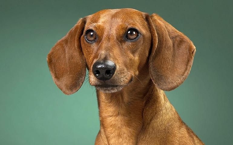 Собаки породы такса: фото, характеристика породы
