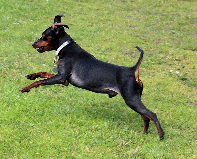 Собаки породы карликовый пинчер (цвергпинчер)