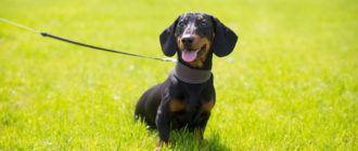 Собаки породы такса: фото, характеристика, история породы. Чем кормить собаку. Болезни таксы