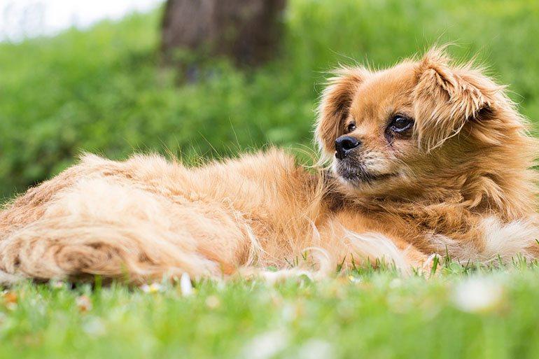 Собаки породы тибетский спаниель