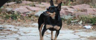 Собаки породы той-терьер: фото, характер, описание породы