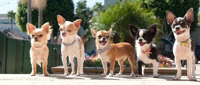 Собаки породы чихуахуа: фото, характер, описание породы. Чем кормить Чихуахуа. Болезни Чихуахуа