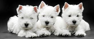 Собаки породы вест хайленд уайт терьер: фото, описание, характер породы. Чем кормить вест хайленд уайт терьера