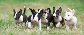 Собаки породы миниатюрный бультерьер: фото, характер, темперамент породы. Каким болезням подвержены миниатюрные бультерьеры