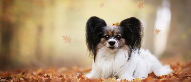Собаки породы континентальный той-спаниель: фото, описание, характер породы. Чем кормить континентального той спаниеля