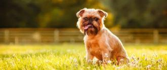 Собаки породы брюссельский гриффон: фото, характер, описание, история породы, чем кормить собаку.