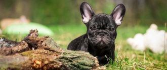 Собаки породы французский бульдог: фото, характер, описание породы. Чем кормить и каким болезням подвержен французский бульдог