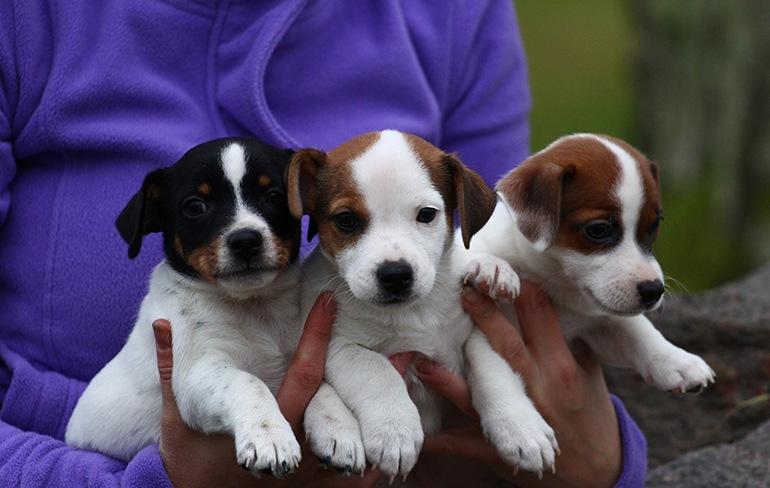 Собаки породы джек рассел терьер: фото, описание, характер породы. Болезни джек рассел терьера. Чем кормить питомца