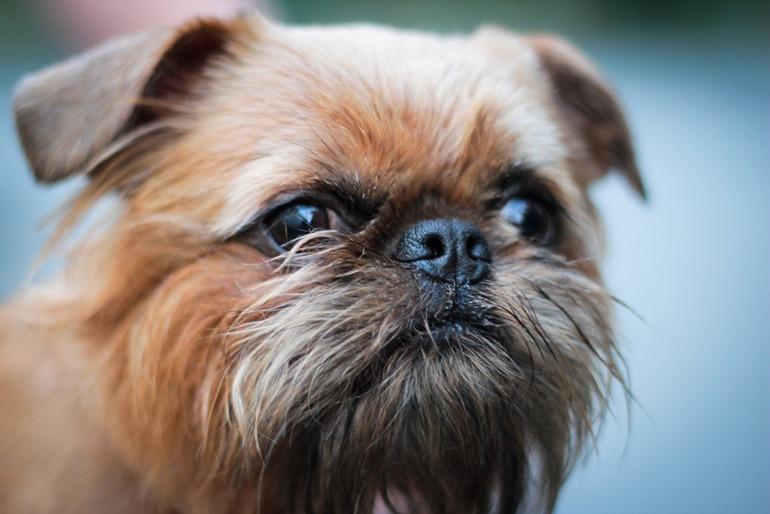 Брюссельский гриффон: фото, характер породы, чем кормить собаку.