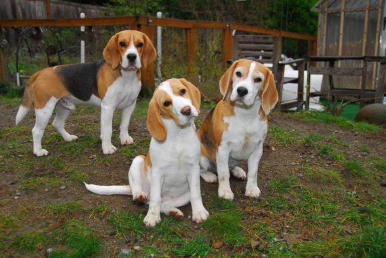 Собаки породы Бигль: фото, характер и темперамент породы. Фото Бигль. Болезни собак породы бигль