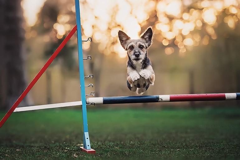 Аджилити для собак: фото, правила аджилити, классы, препятствия. Соревнования собак по аджилити