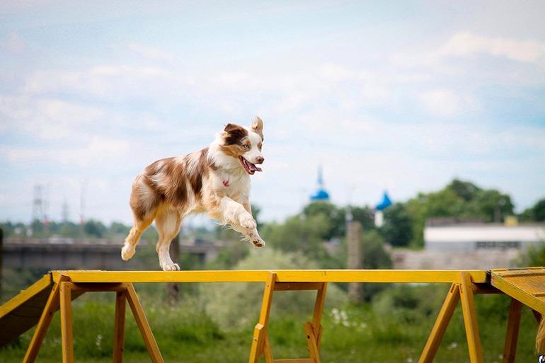 Аджилити для собак: фото, правила аджилити, классы, препятствия. Соревнования собак по аджилити. Снаряд для аджилити бум