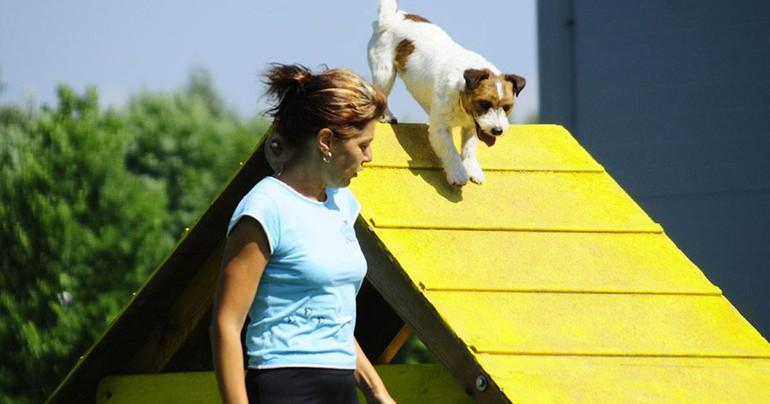 Аджилити для собак: фото, правила аджилити, классы, препятствия. Соревнования собак по аджилити. Снаряд для аджилити горка