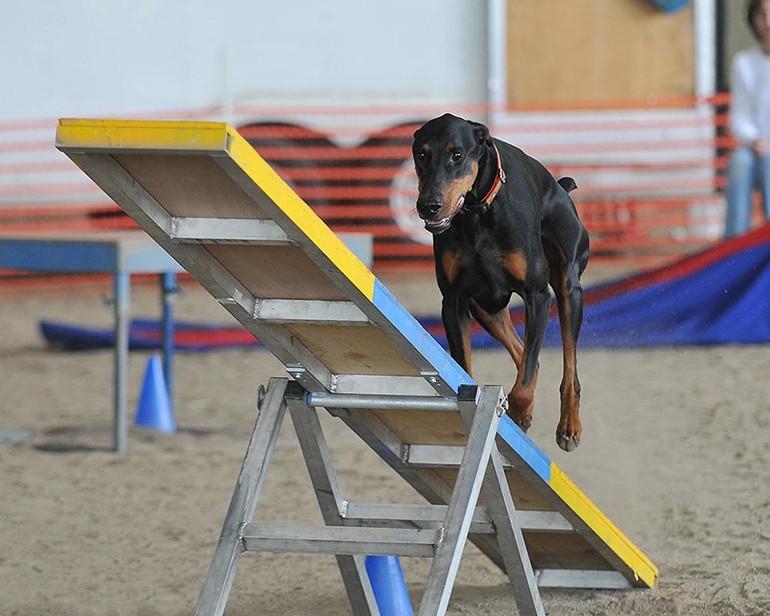 Аджилити для собак: фото, правила аджилити, классы, препятствия. Соревнования собак по аджилити. Снаряд для аджилити качели