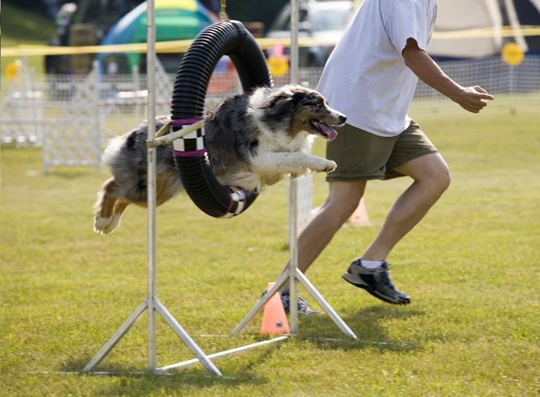 Аджилити для собак: фото, правила аджилити, классы, препятствия. Соревнования собак по аджилити. Снаряд для аджилити кольцо