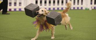 Обидиенс для собак: что это, виды, правила. Соревнования по обидиенс