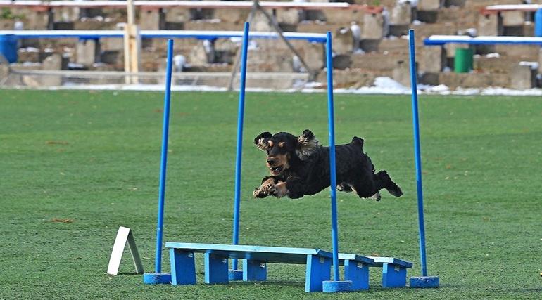 Аджилити для собак: фото, правила аджилити, классы, препятствия. Соревнования собак по аджилити. Снаряд для аджилити платформа