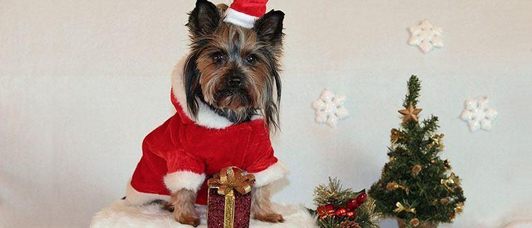 odezhda-dlya-yorkshirskogo-terera Выкройка комбинезона для собаки: удобная одежда для йорка, таксы и других собак своими руками