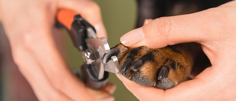 Как правильно подстригать когти собаке когтерезом