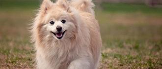 Гипоаллергенные собаки маленьких пород