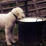 Можно ли давать собаке молоко