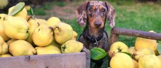 Какие фрукты можно собакам