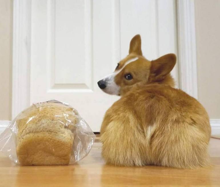 Корги и хлеб