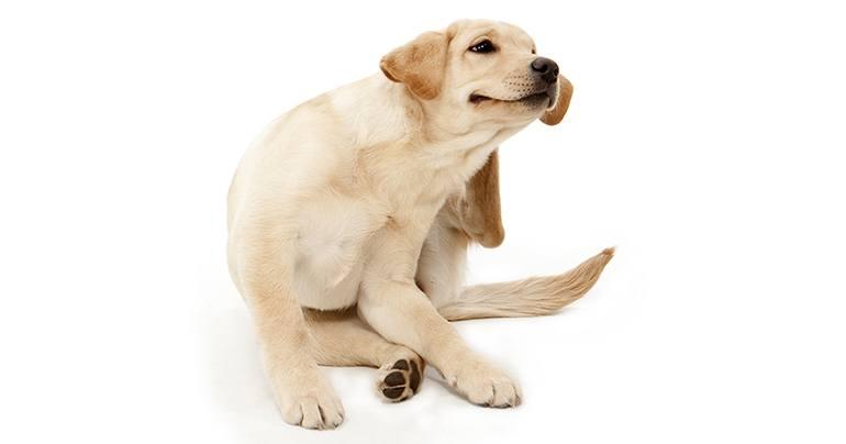 Признаки блох у собаки
