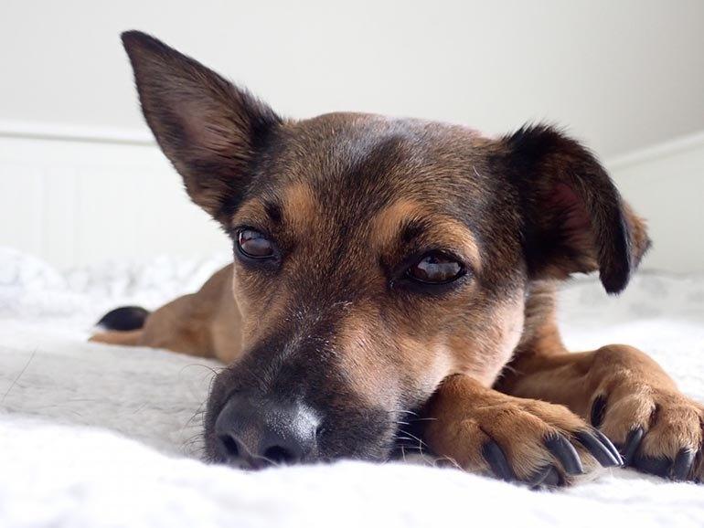 Возможные проблемы в период линьки у собаки