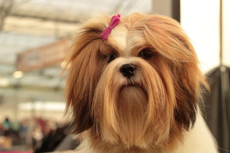 Выставочная стрижка у собаки