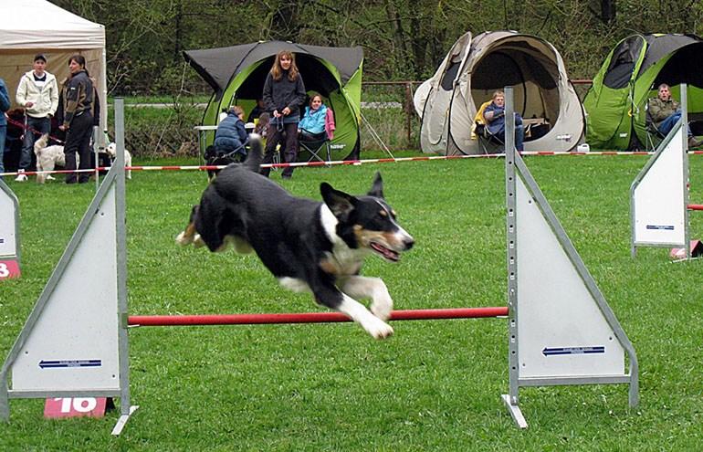 Собачий флайбол: правила проведения