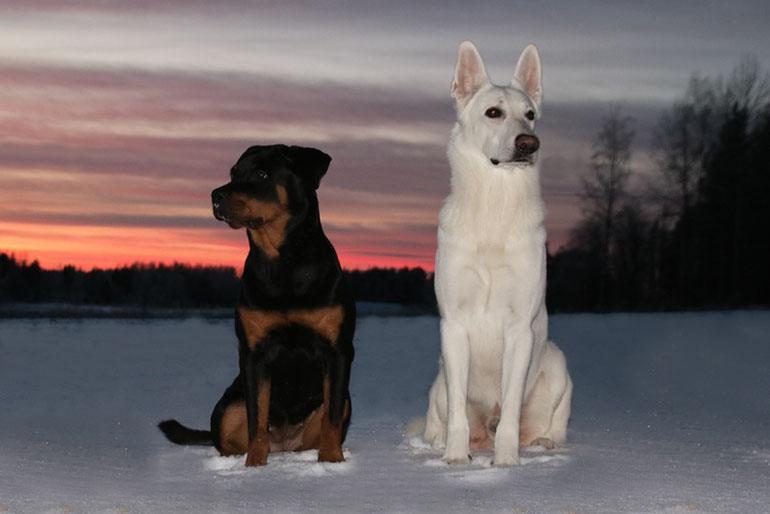 Социализация собак: основы дружбы между собаками