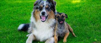 Как подружить собаку с собакой