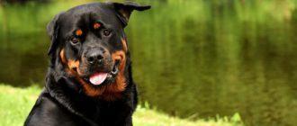 Зачем собакам купируют хвосты и уши