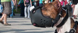 Как приучить собаку к наморднику